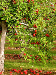 Apples fall from trees releasing enzymes.