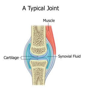 joint - typical with cartilage and synovial fluid