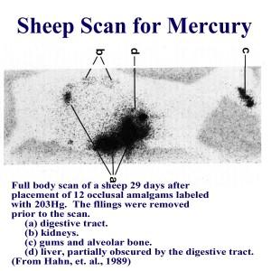 Sheep scanned for mercury after having amalgams for 2 weeks.